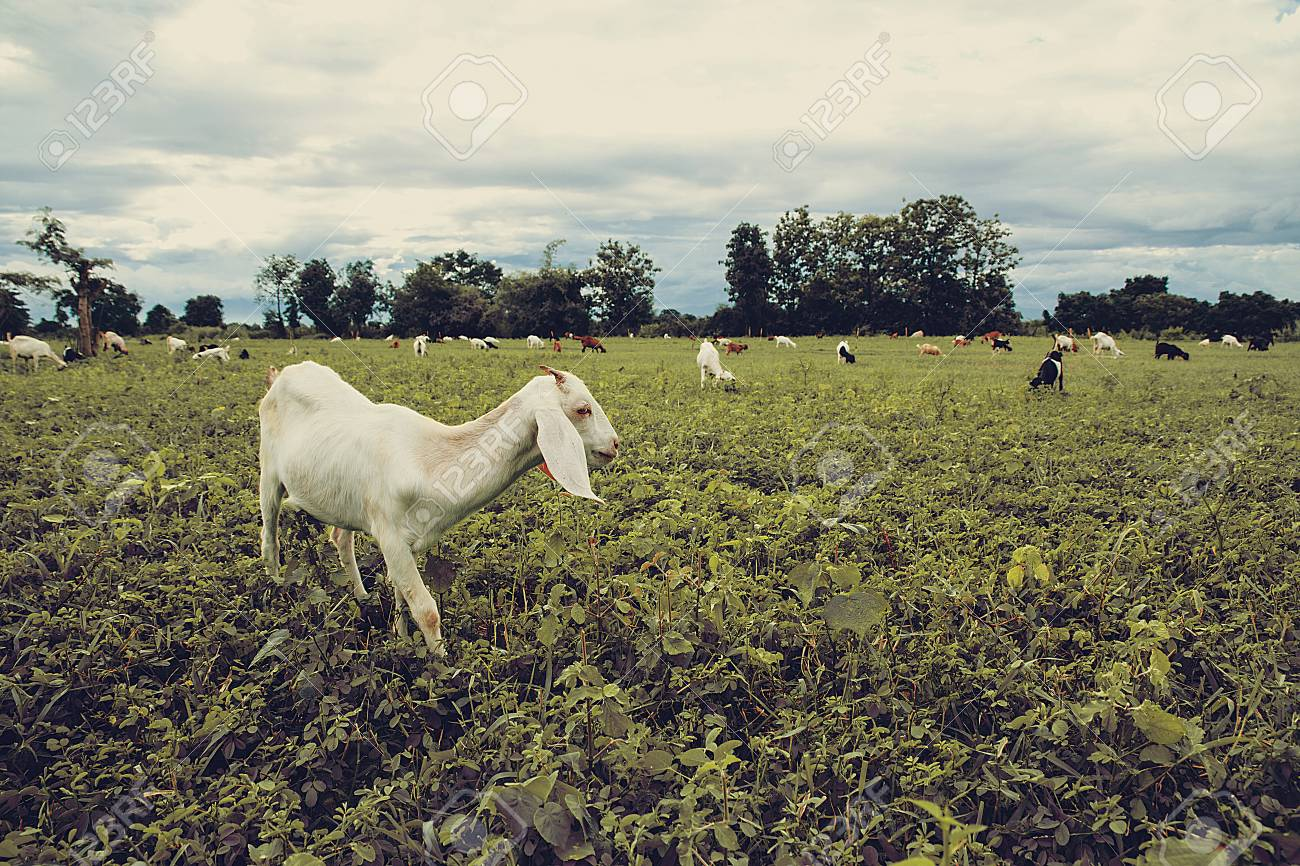 Grazing goats and green plants vintage style with copy space