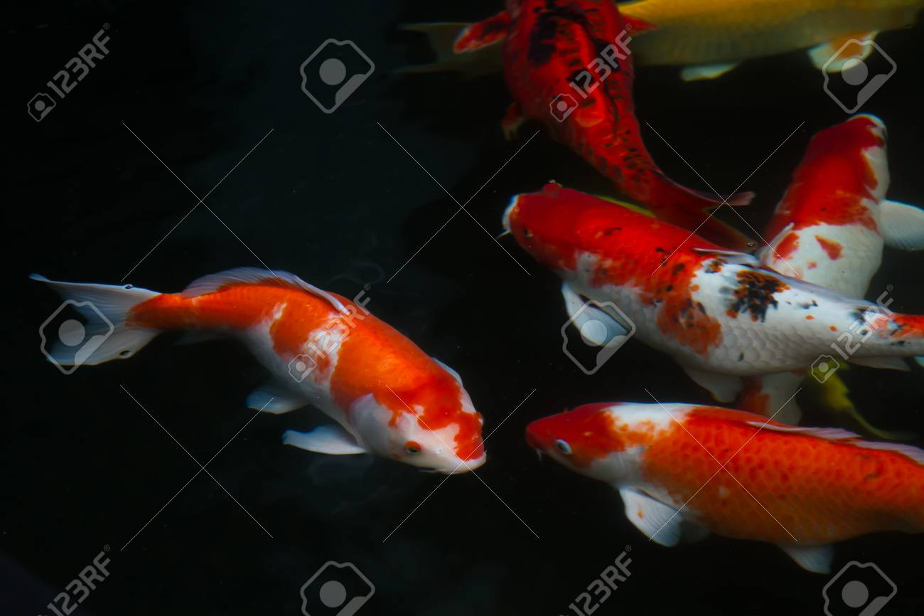 Japan Fish Call Carp Or Koi Fish Colorful Swimming In The Pond Stock ...