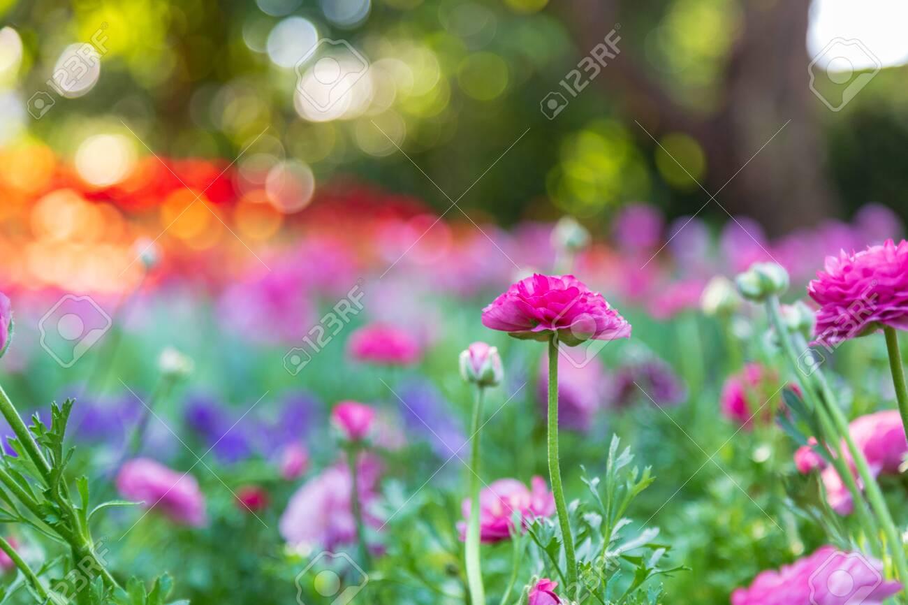 Violet Ranunculus Blossom Beautiful In The Garden Spring Season
