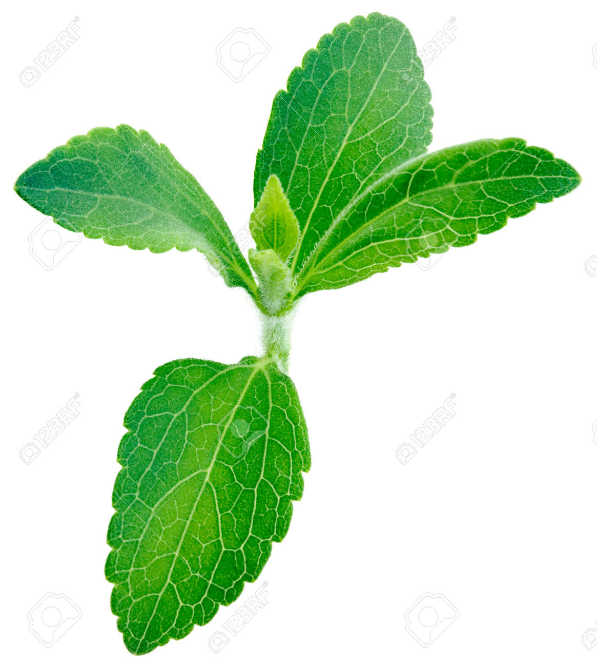Stevia rebaudiana, sweet leaf plant, sugar substitute isolated on white background with copy space Standard-Bild - 13564173