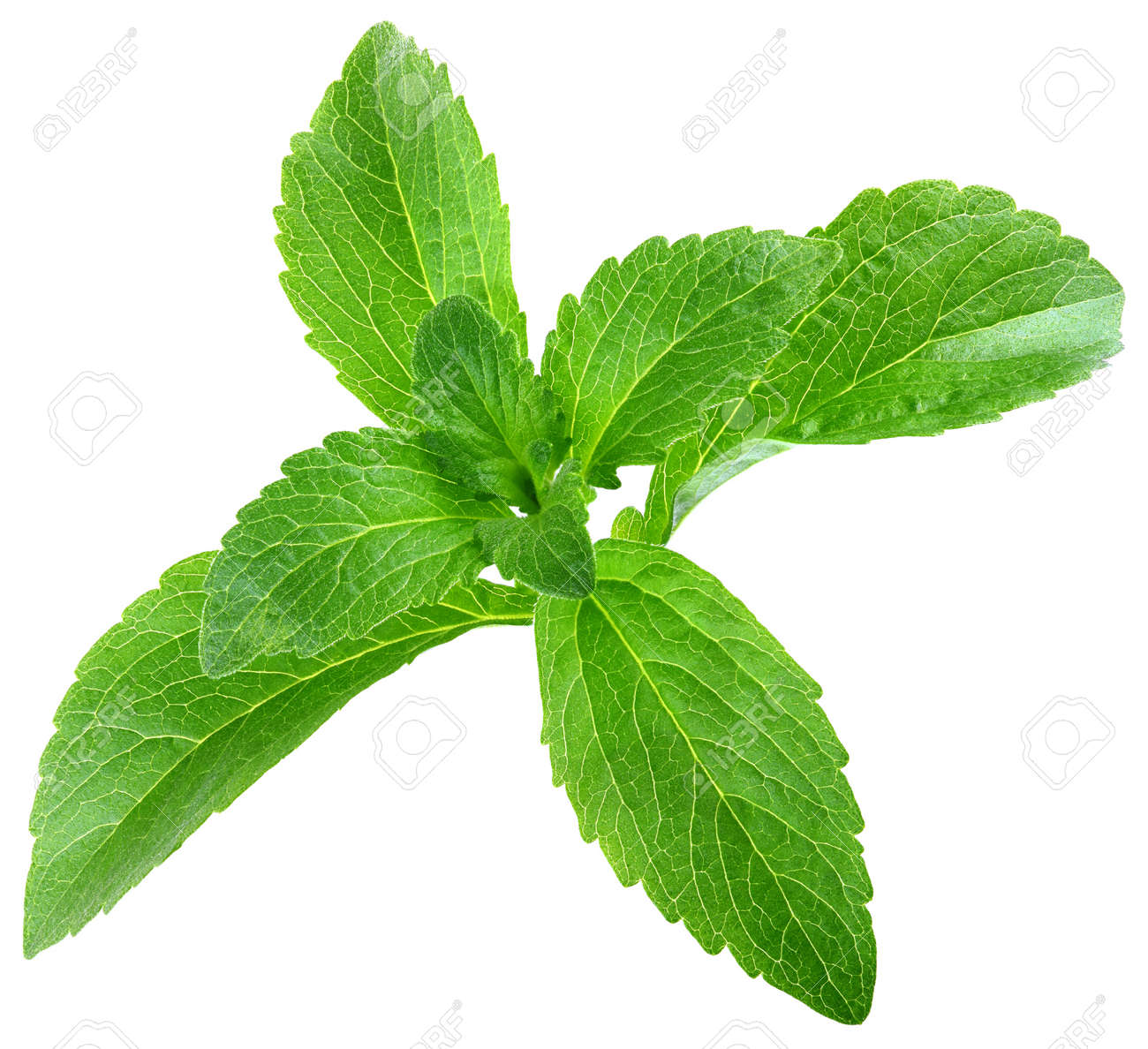 Stevia Rebaudiana Leafs Isolated on White Background Standard-Bild - 14062552