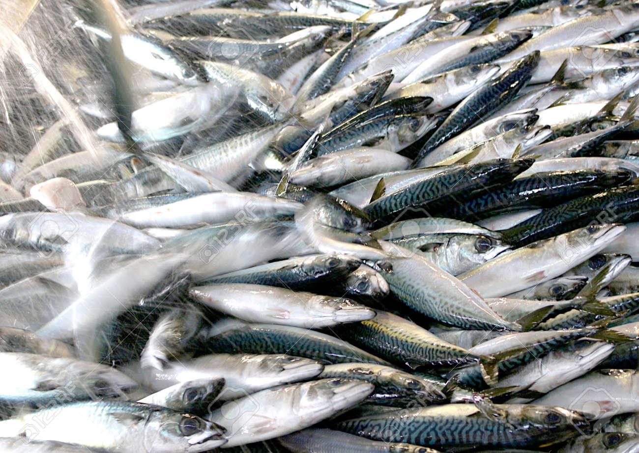 Raw mackerel - 154202204