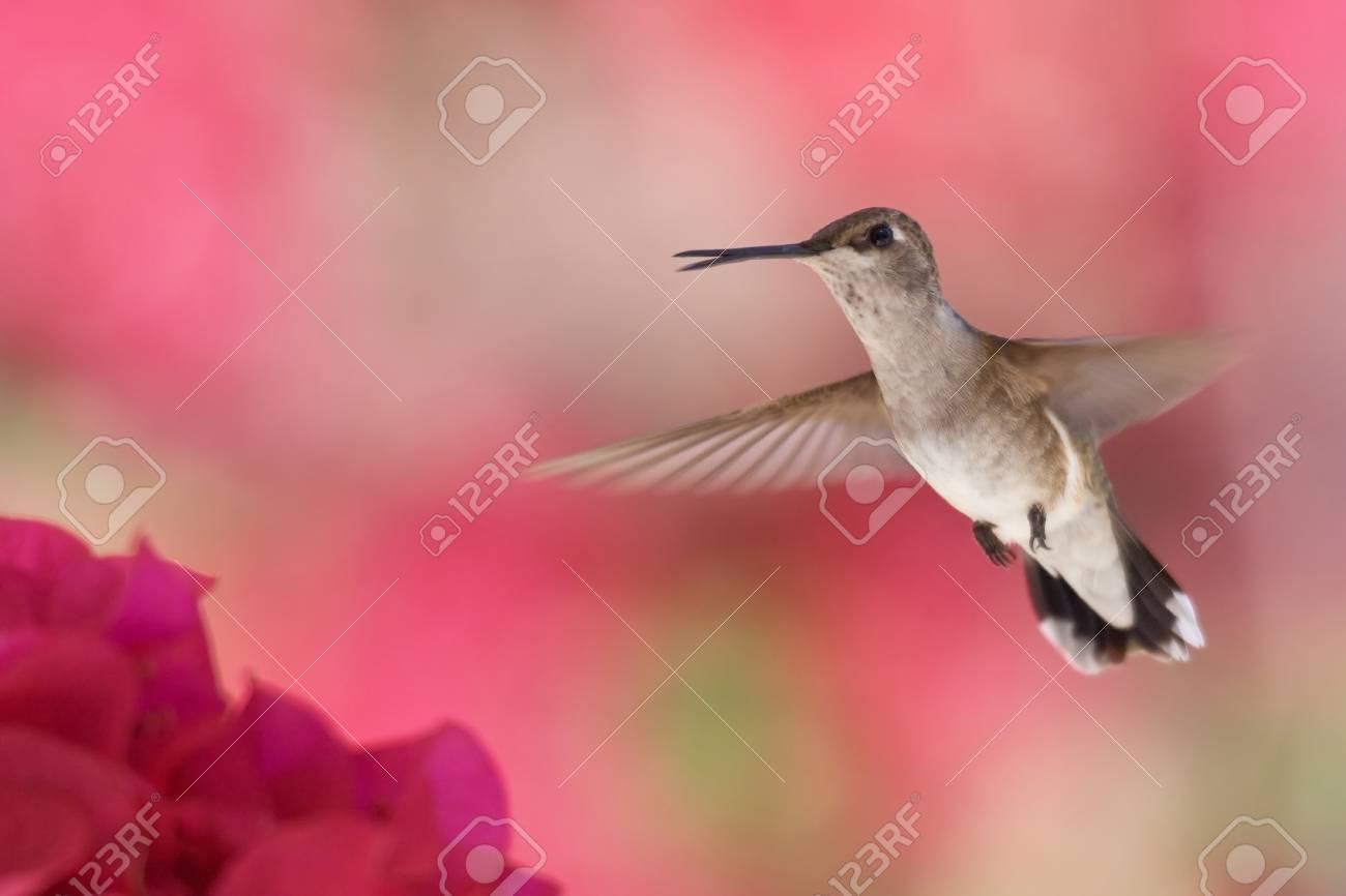 Hummingbird in flight Stock Photo - 12430334