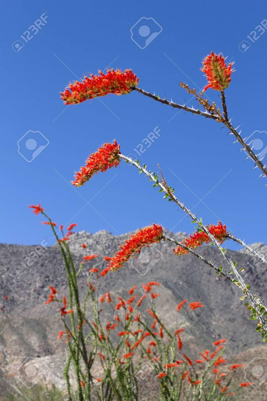 ocotillo flower in bloom anza borrego desert state park ca stock
