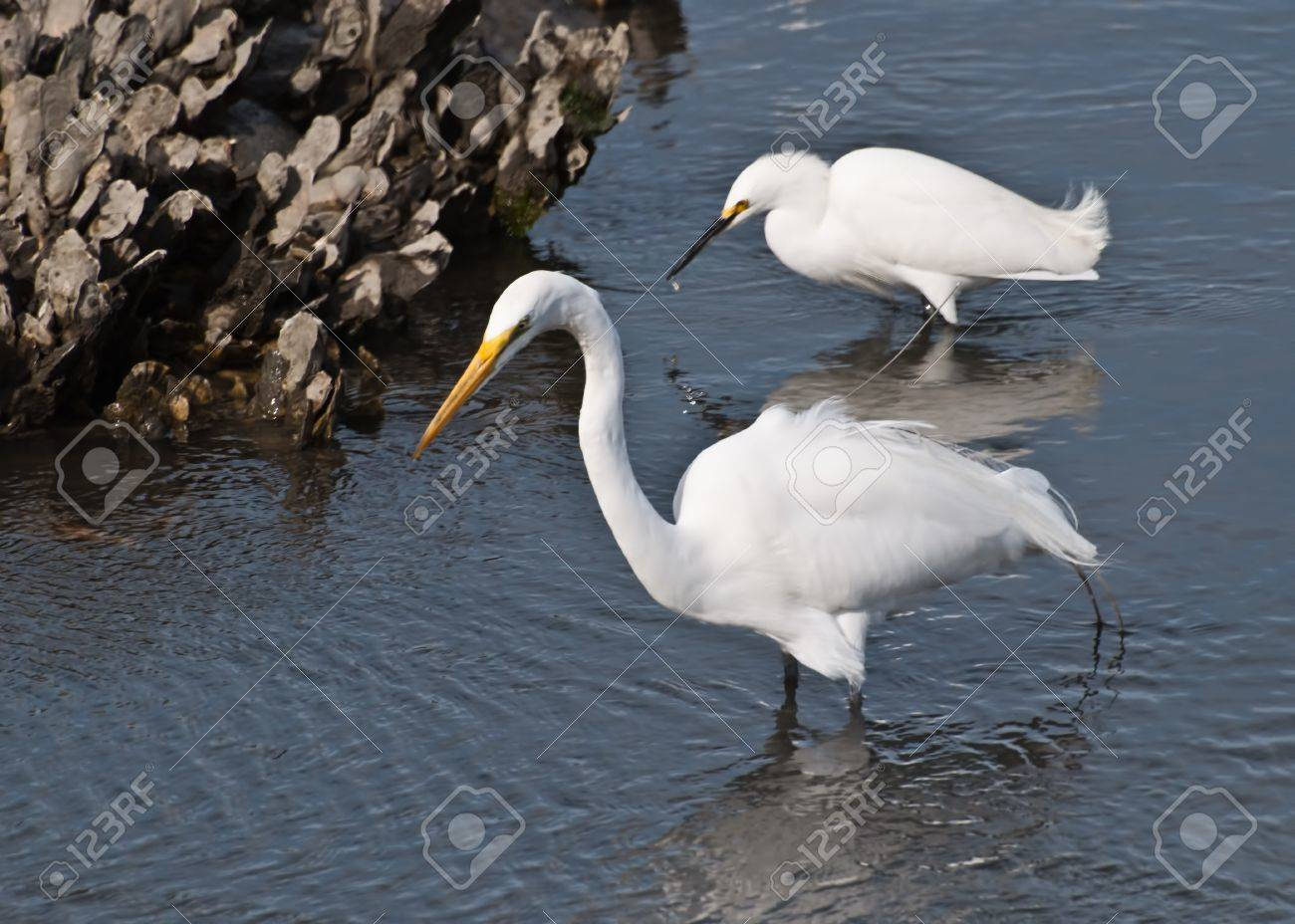 Great Egret On Prowl >> Two Egrets Prowl For Food In The Marsh Area Of Huntington Beach