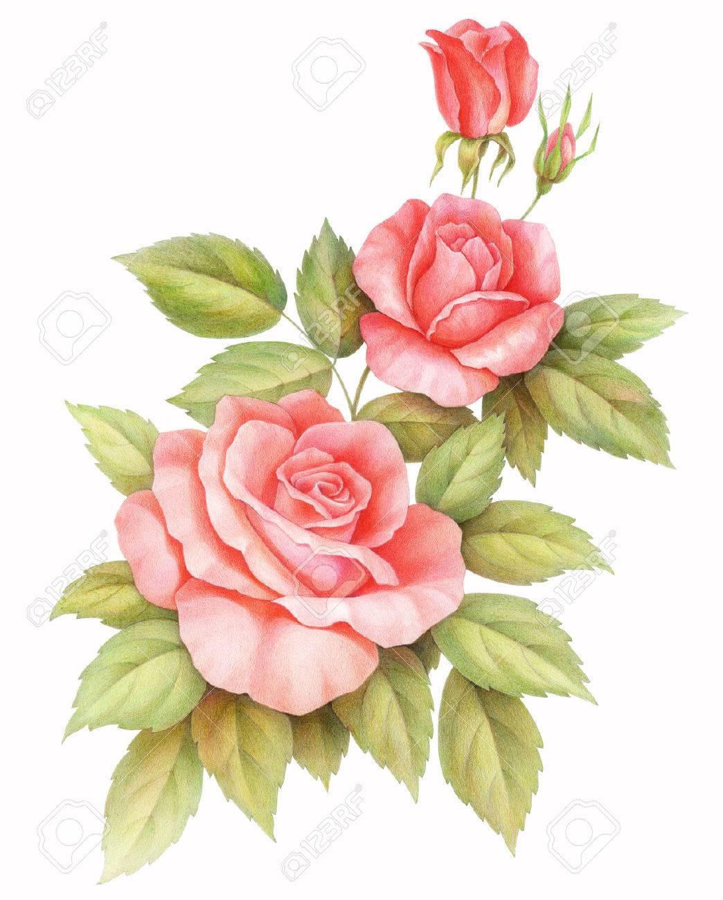 白地ピンク赤ヴィンテージのバラの花が分離されました色鉛筆水彩