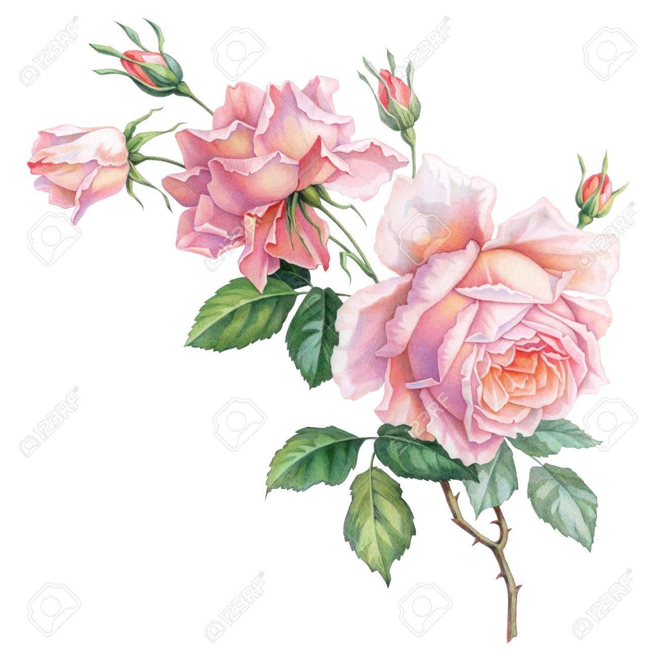 Rosa Weiße Vintage Rosen Blumen Isoliert Auf Weißem Hintergrund