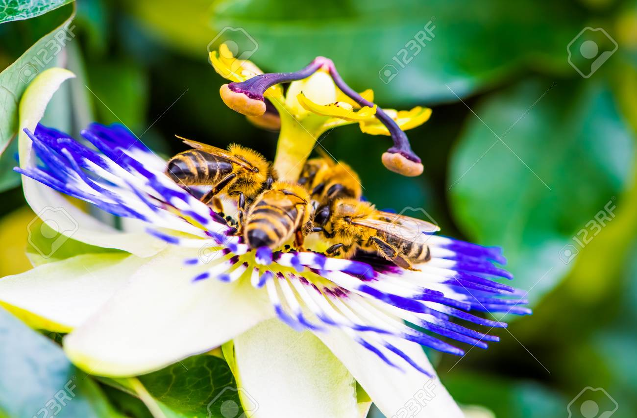 Four Bees On Common Passion Flower Macro Color Photo Of