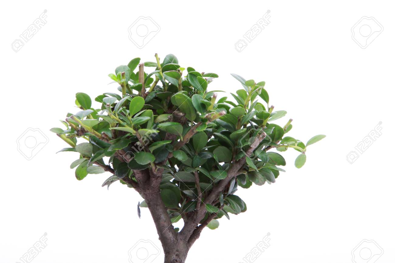 The top of a small japanese bonsai tree isolated on white with copy space Stock Photo - 4288316