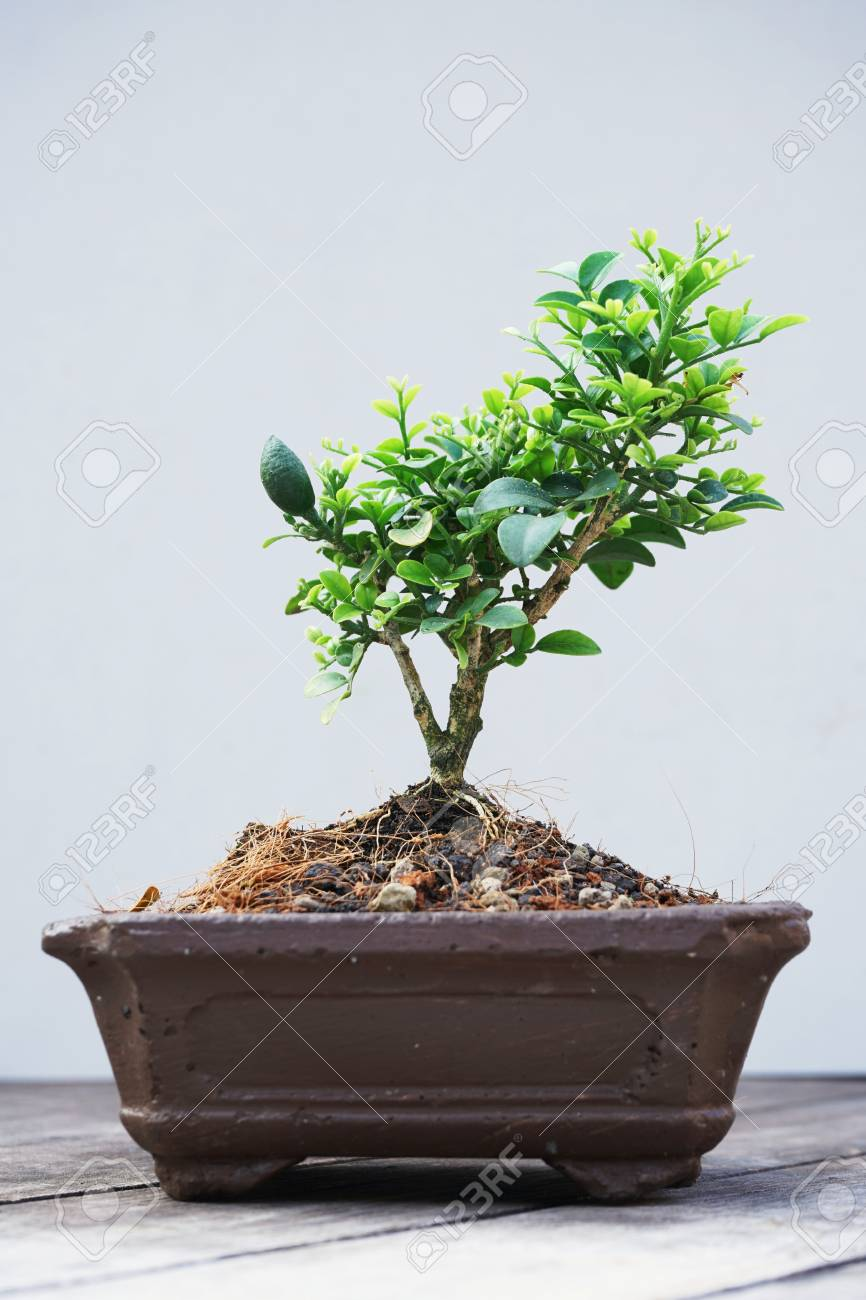 Little bonsai tree in white flower pot with wood table background little bonsai tree in white flower pot with wood table background stock photo 97073604 mightylinksfo