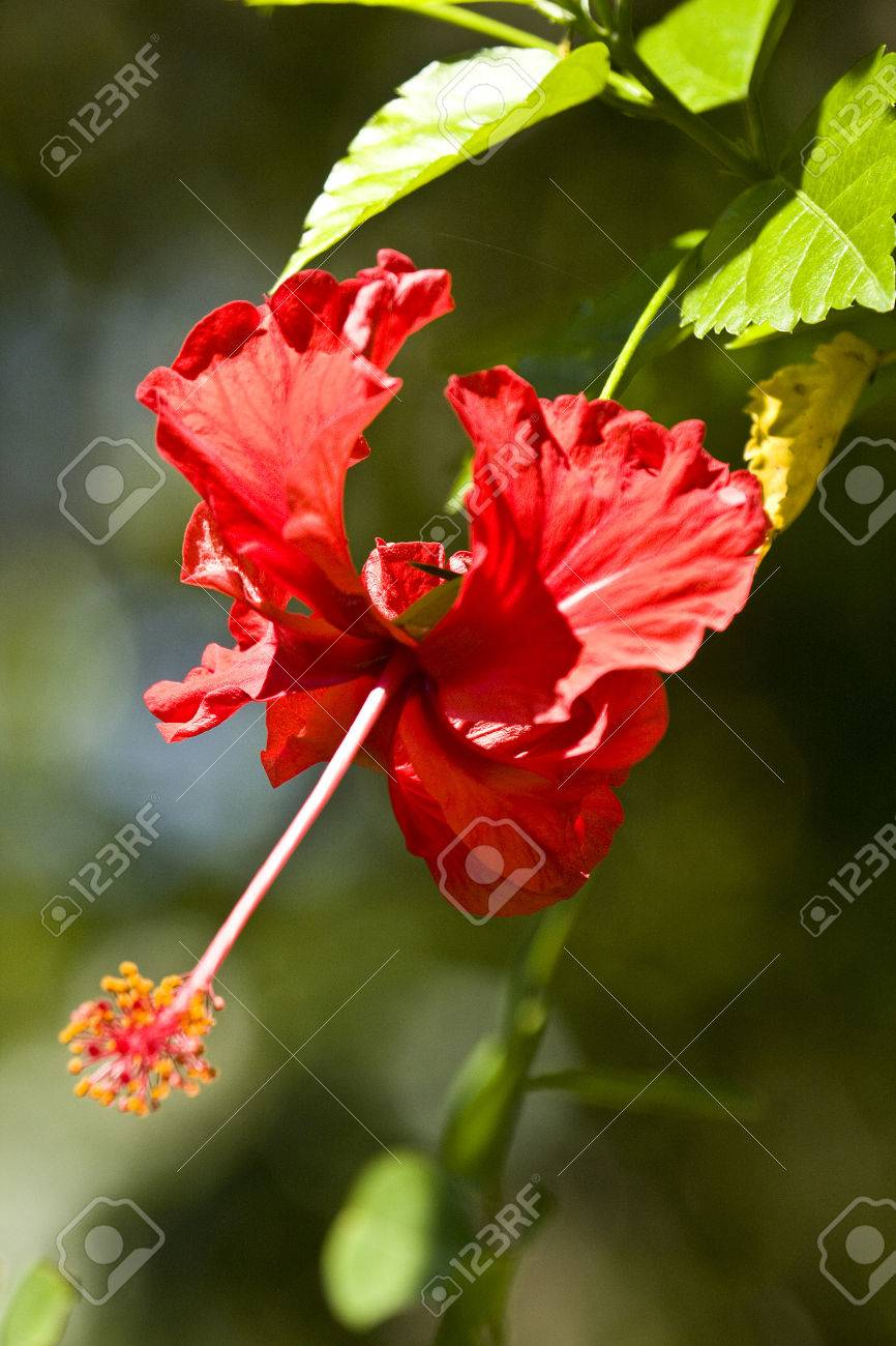 Red hibiscus flower in a garden bardia nepal stock photo picture red hibiscus flower in a garden bardia nepal stock photo 38553316 izmirmasajfo