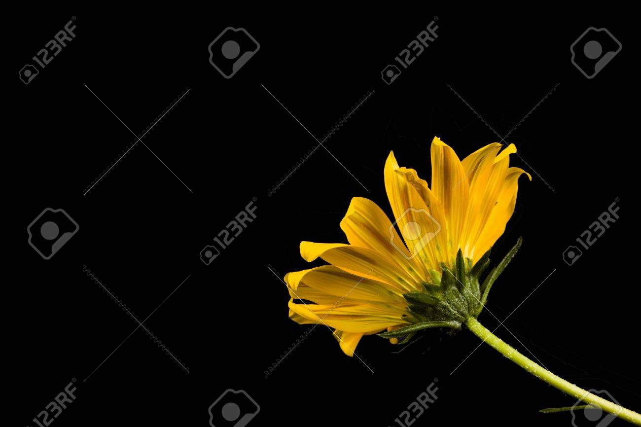 Gazania is a genus of flowering plants in the family Asteraceae, native to Southern Africa. It is often planted as drought-tolerant ground cover. A typical daisy like flower up to about 10cm across, they are commonly banded with a dark zone around the cen Stock Photo - 4776609