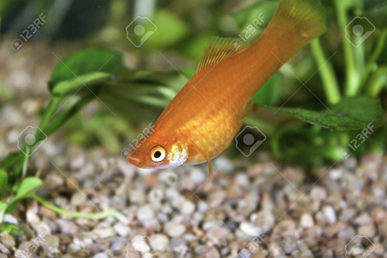 Xiphophorus maculatus (red swordtail fish) in an Aquarium Tank Stock Photo - 9333913