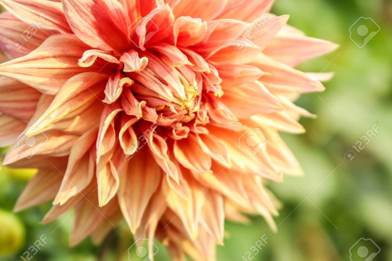 Double Orange Dahlia Flower Stock Photo Picture And Royalty Free