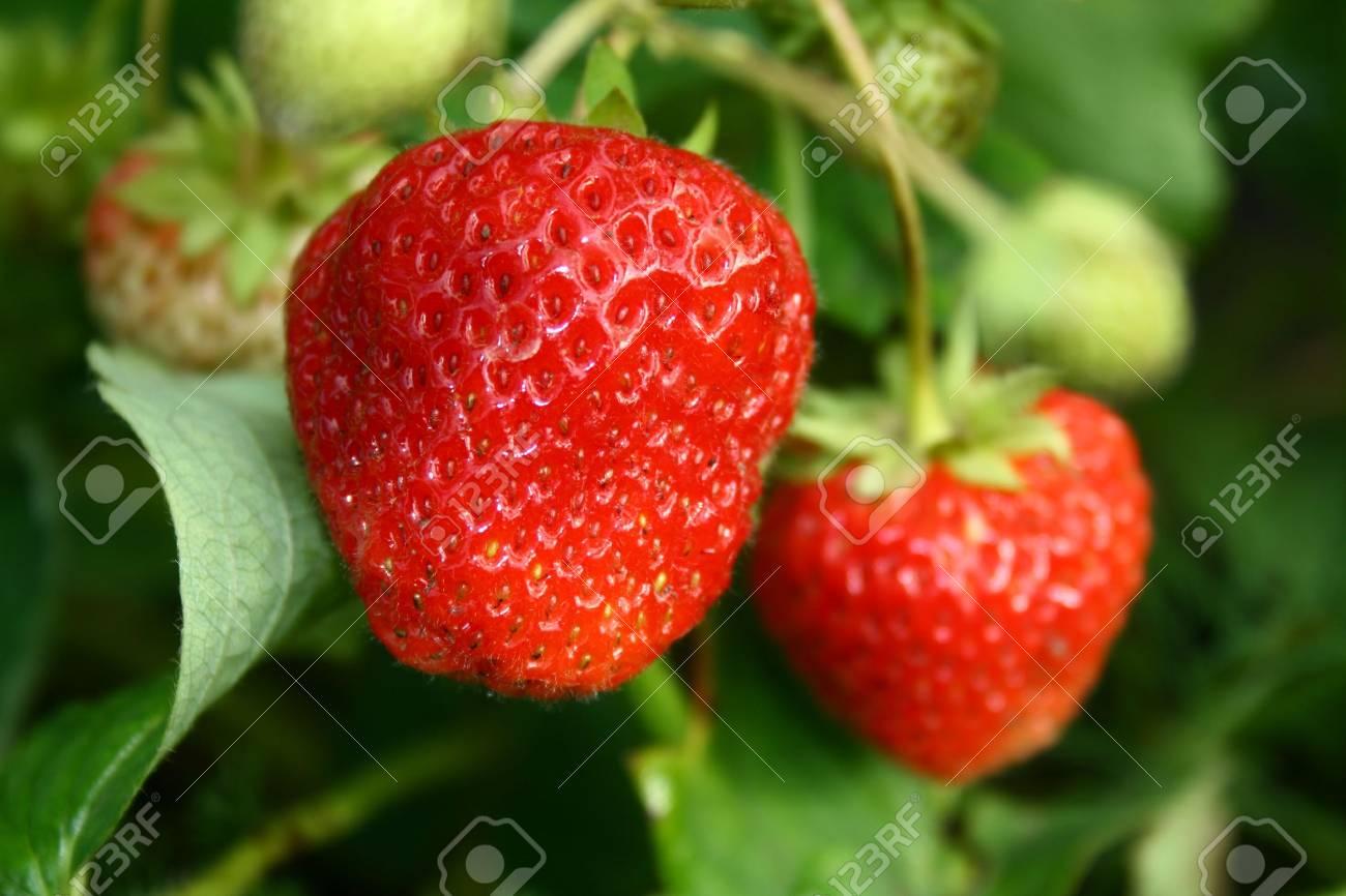 Vase with the ripe fresh berries Stock Photo - 1354135