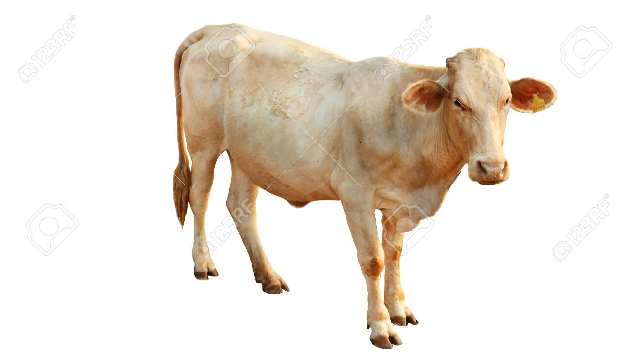 Chalore Cattle Breed Female Cow is set on a white background. - 132109573