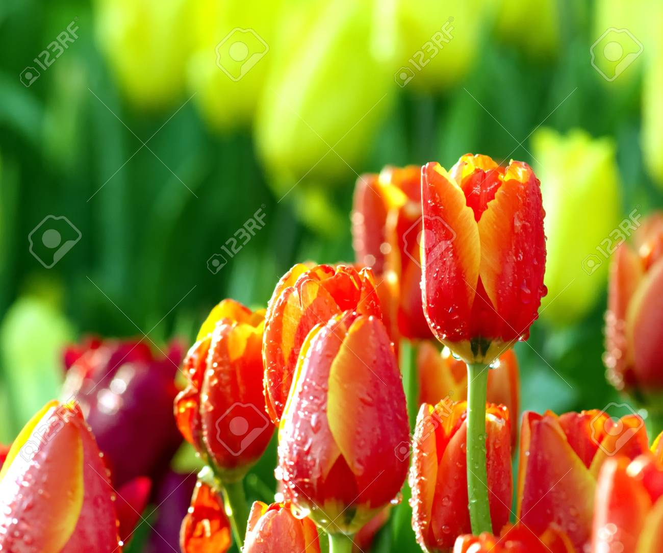 An Orange Tulips Flowers That Have A Yellow Color In The Edge ...