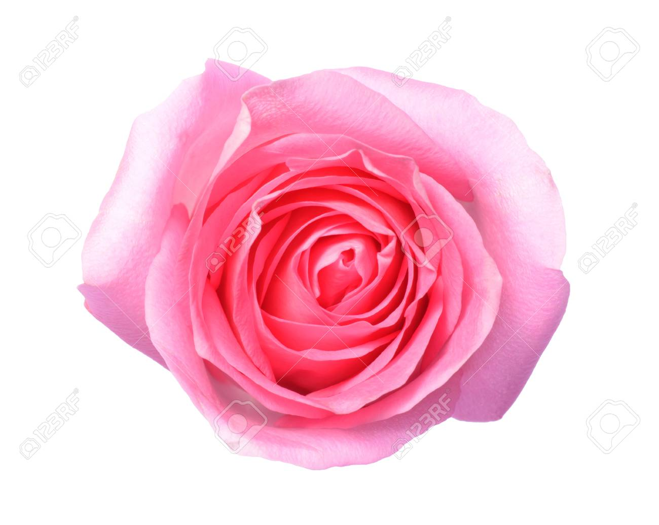 Pink Rose A Top View Photo Of Single Pink Rose Flower Isolate