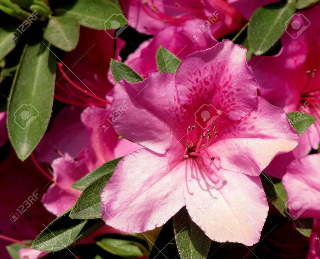 Fleur D Une Azalee Rose Dans Un Jardin Japonais Au Printemps Banque