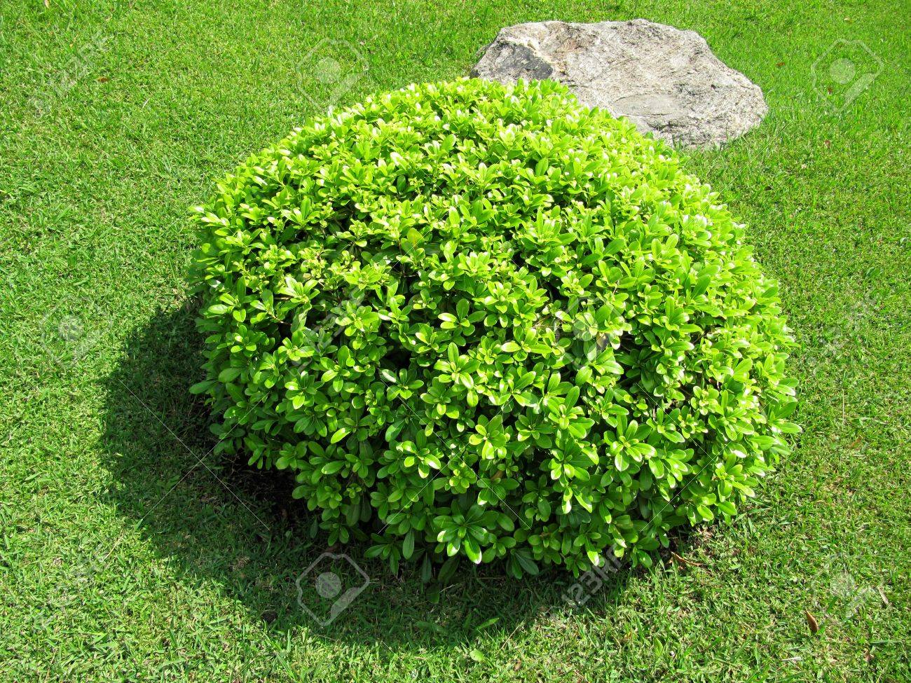 Round Decorative Bush In A Garden Stock Photo Picture And Royalty