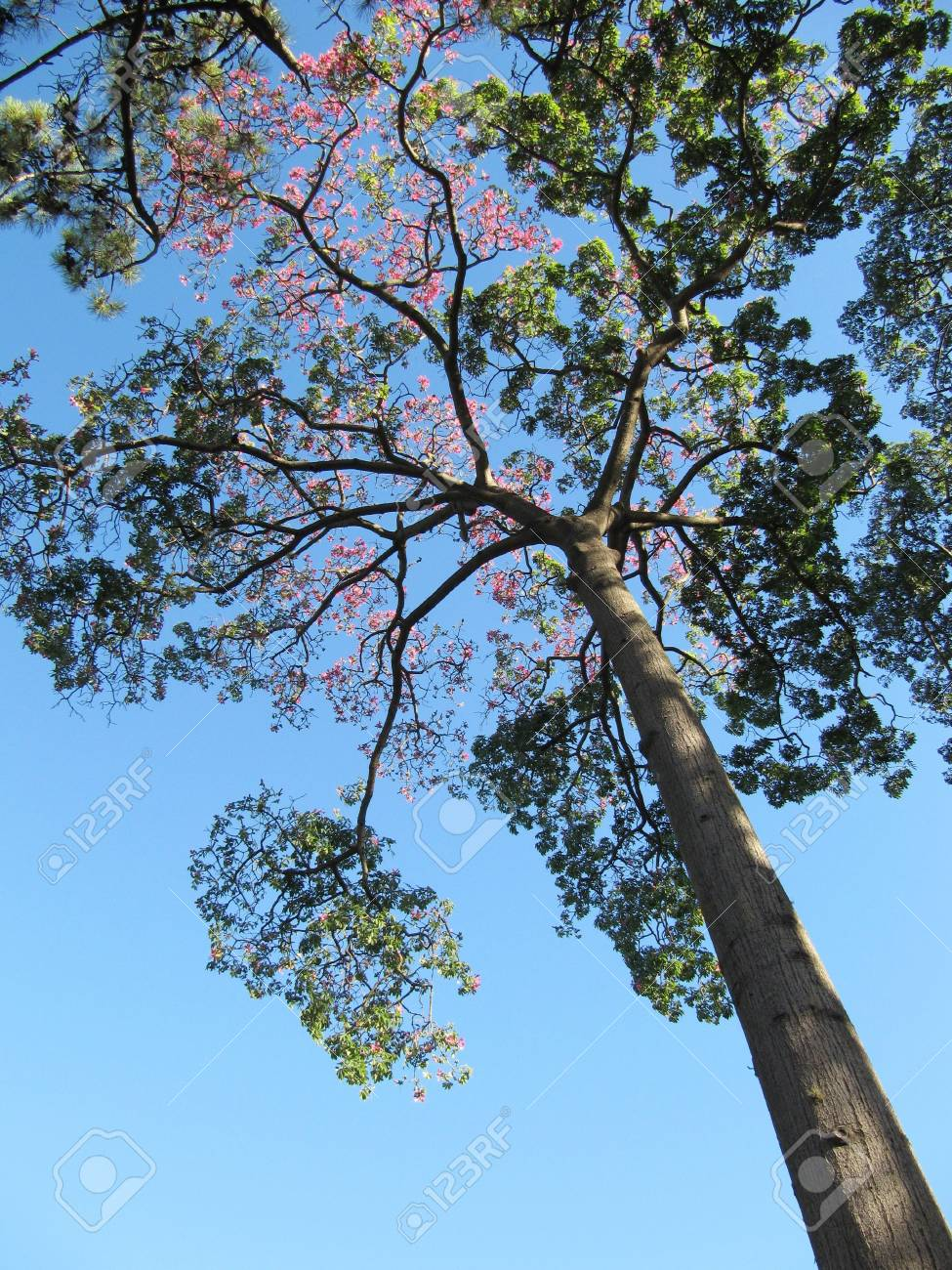 Beautiful big silk tree and blue sky Stock Photo - 14514860