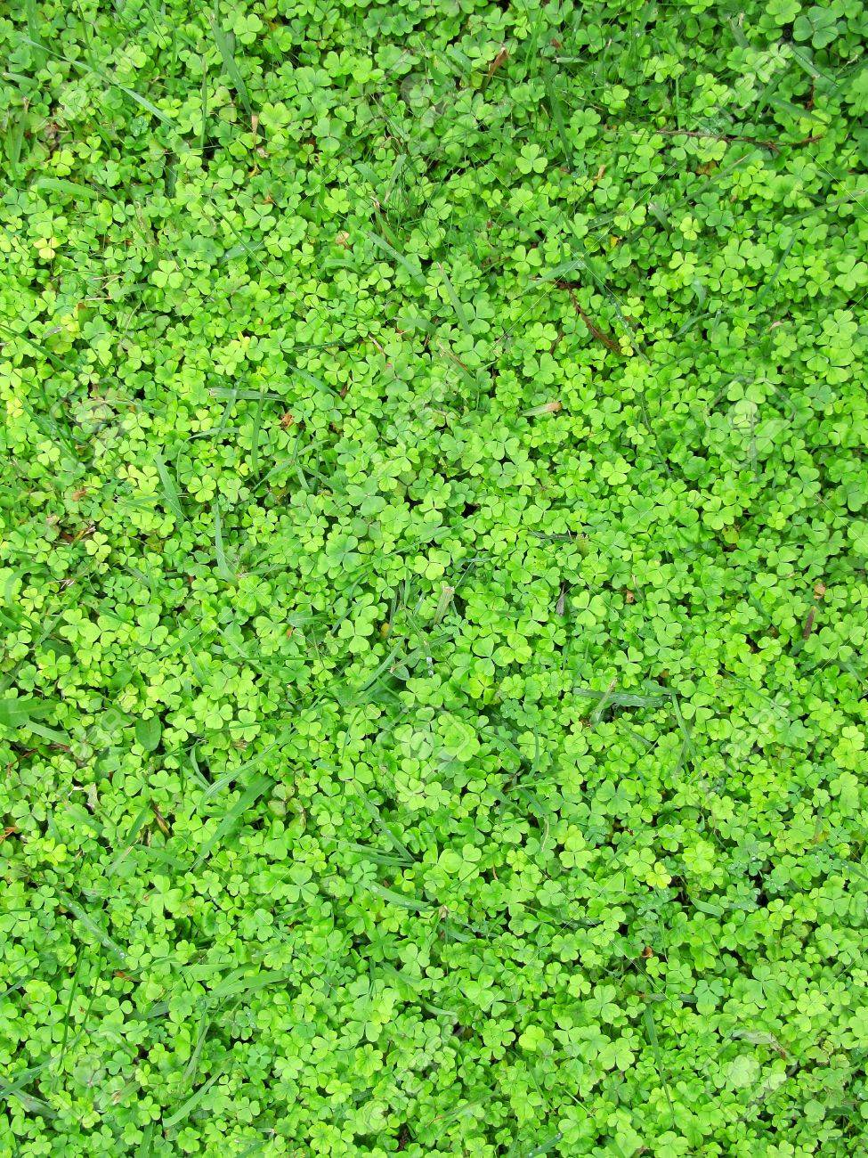 Carpet from green leaves of a shamrock Stock Photo - 15012784