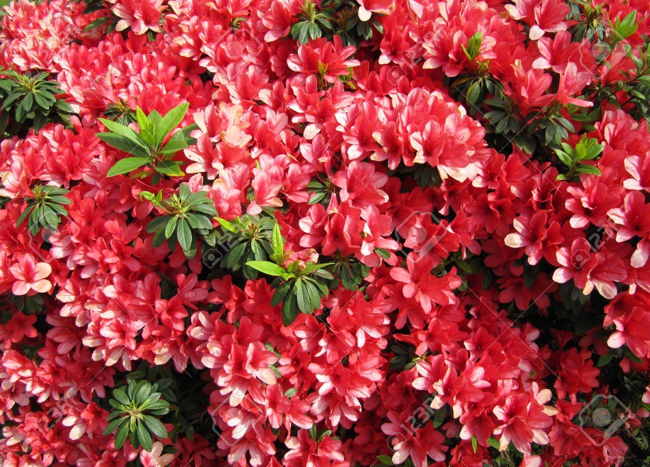 Azalee Rouge Des Fleurs Dans Un Jardin Japonais Contexte Banque D