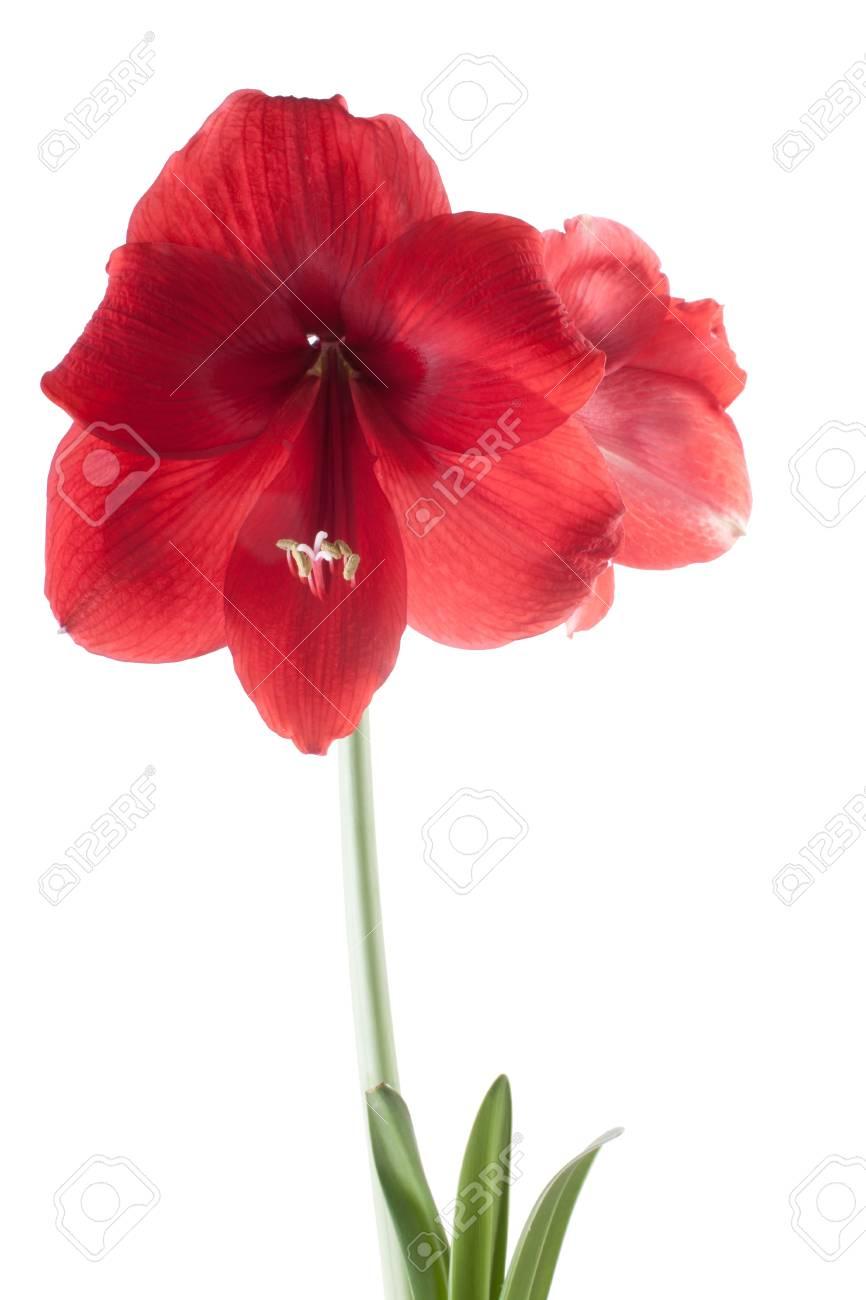 Magnifique Fleur Rouge Sur La Lumiere Isolee Sur Fond Blanc Studio