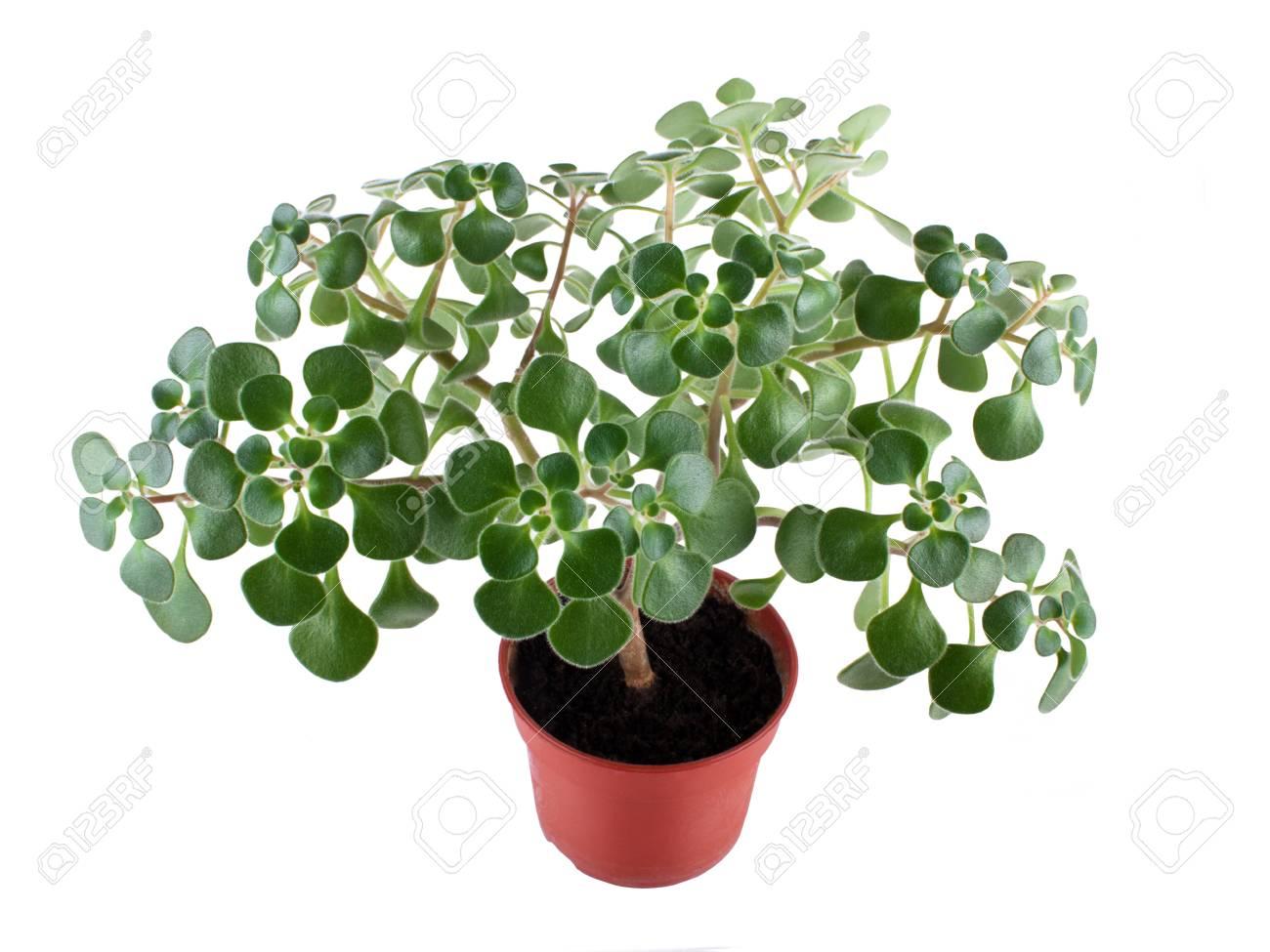 Plante Maison Verte En Pot De Fleurs Isolee Sur Fond Blanc Banque D Images Et Photos Libres De Droits Image 33131654