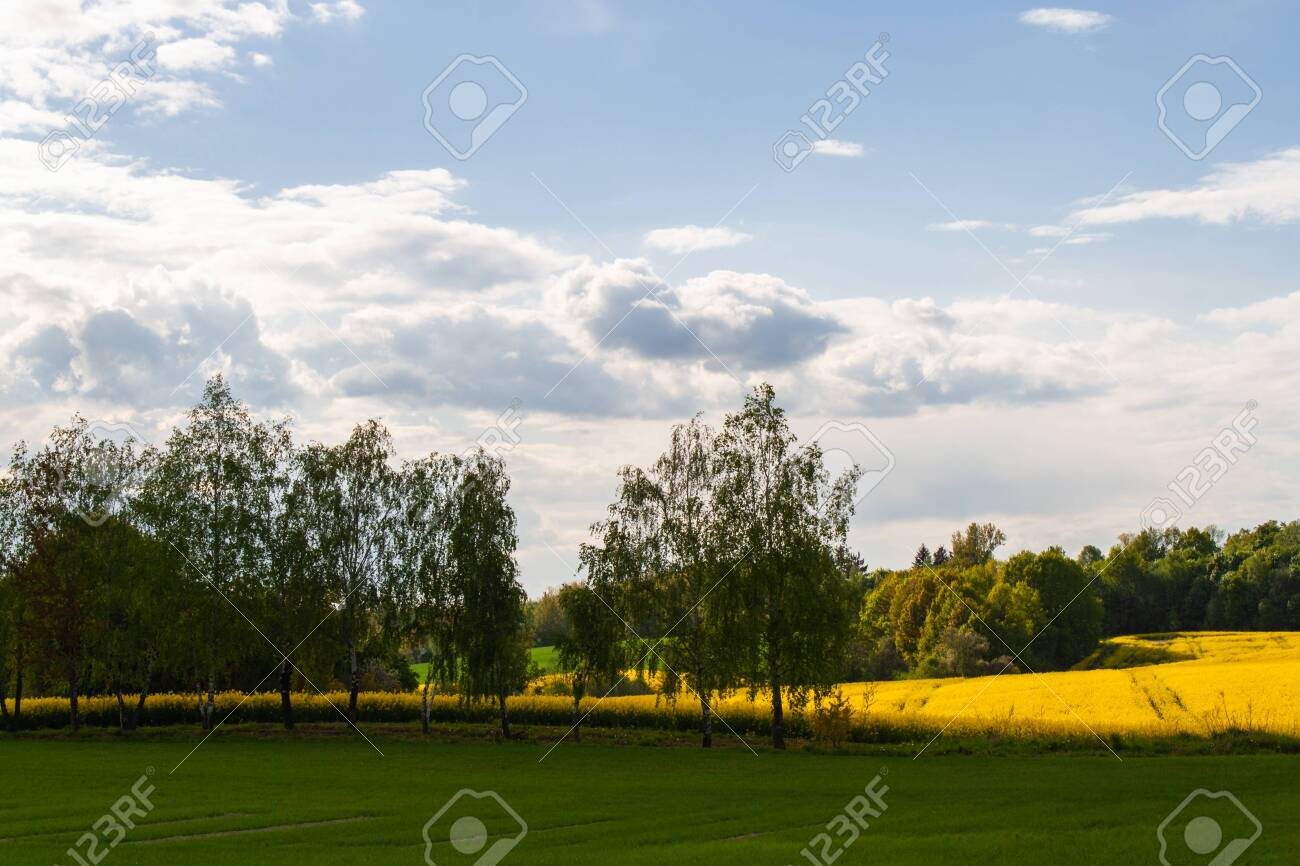 Beautiful field of yellow rape and green trees. Meadow with a forest Cultivation of agricultural crops. Spring sunny landscape with blue sky. Wallpaper of nature - 149544040