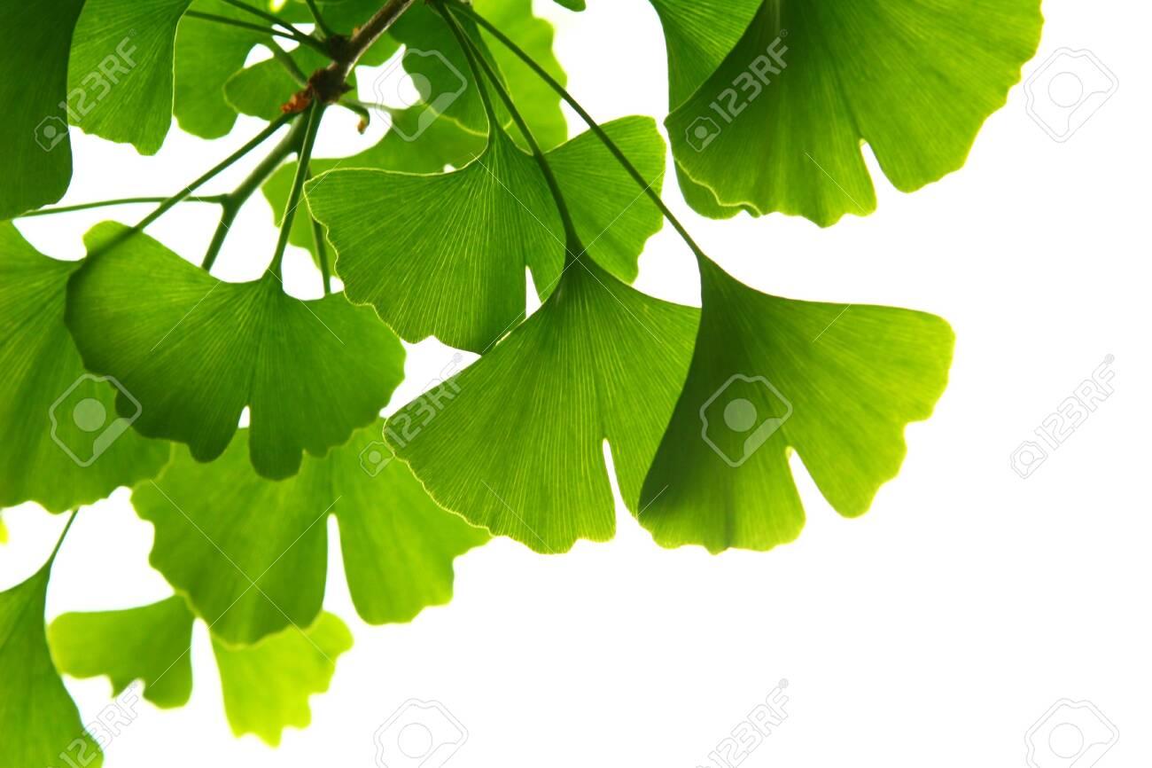 Ginkgo biloba green leaves on a tree. Ginkgo Biloba Tree Leaves on light sky. - 125567093