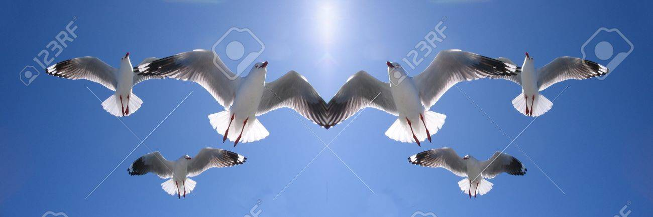 Mirrored Image Of Six Heavenly Backlit Seagulls AKA Silver Gulls In Full Flight Overhead