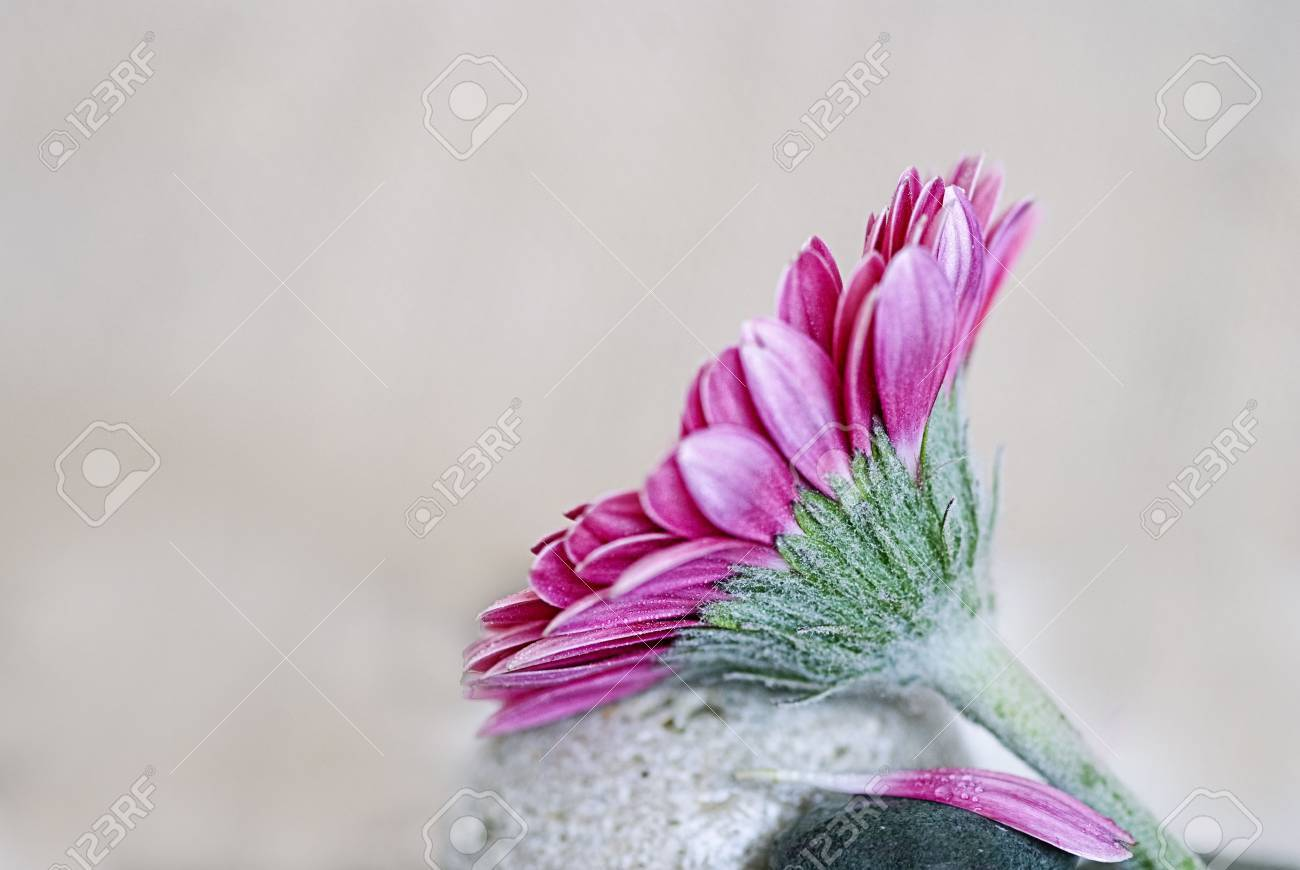 pink orchid flower and gray pebble Stock Photo - 6550597