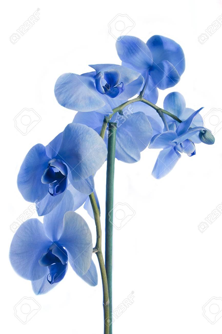Impresionantes Flores De Orquideas Azules Aislados En Un Fondo