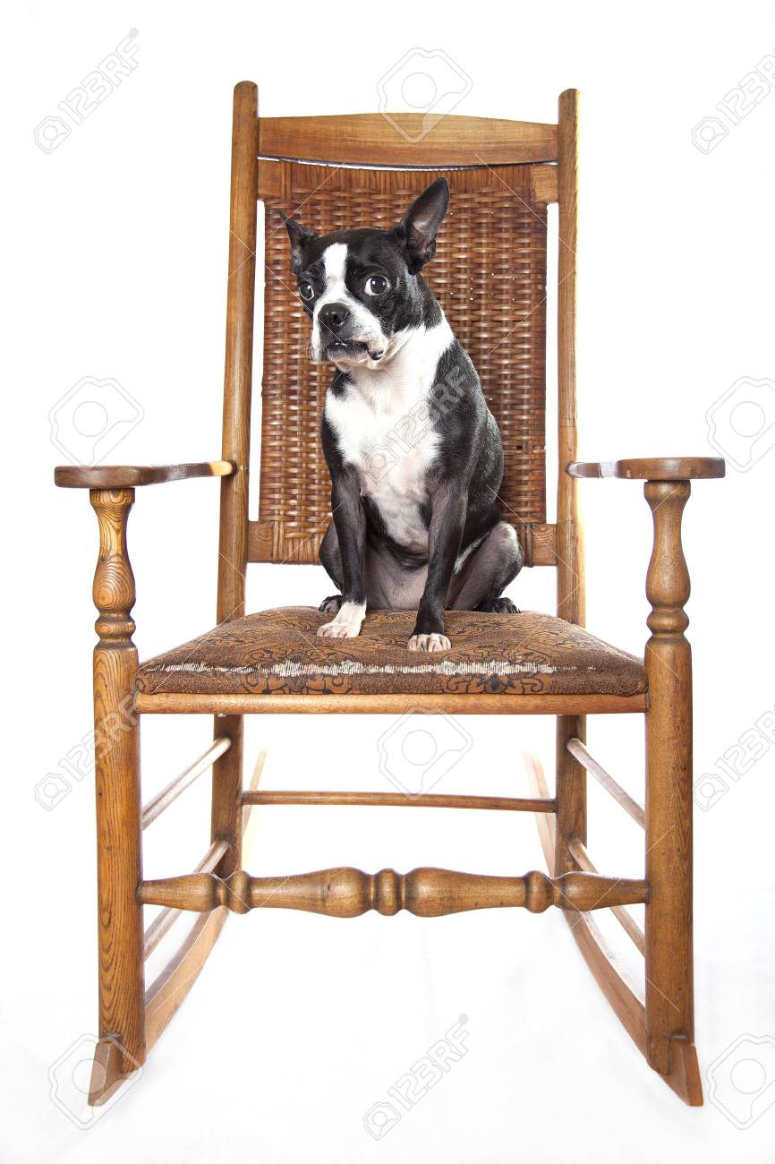 Incredible Cute Boston Terrier Posing On An Old Hardwood Rocking Chair Squirreltailoven Fun Painted Chair Ideas Images Squirreltailovenorg