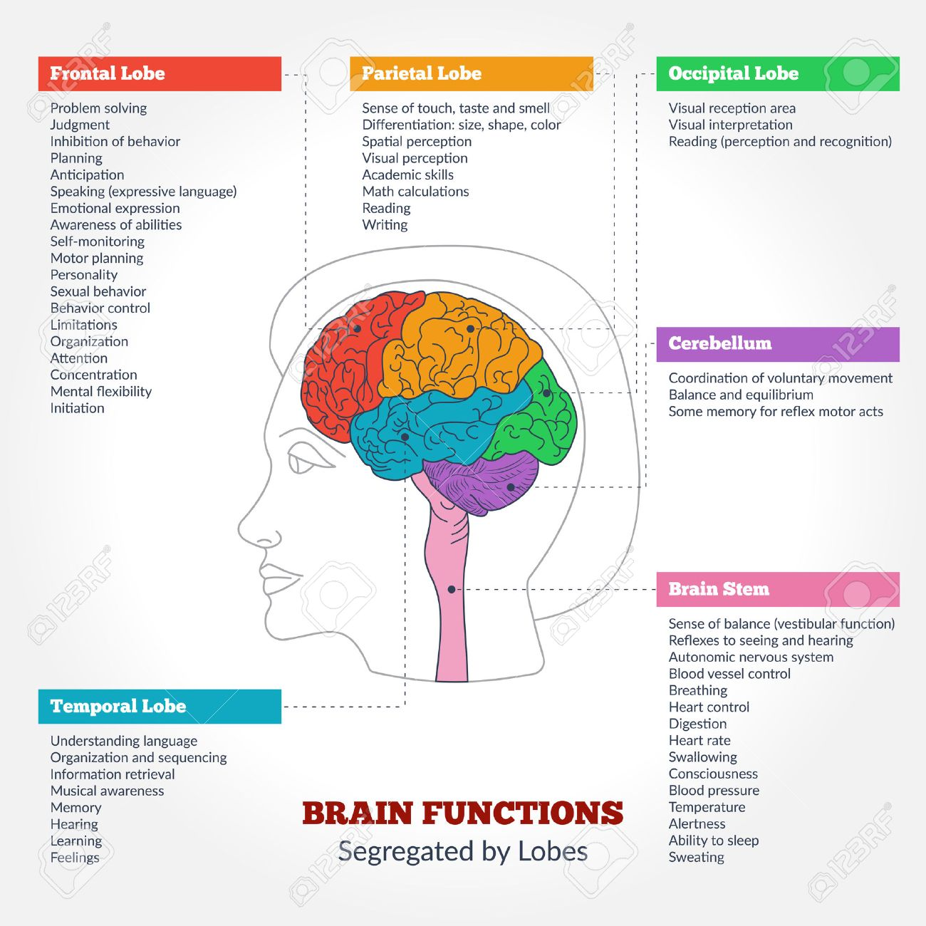 Guide to the human brain anatomy and human brain functions guide to the human brain anatomy and human brain functions segregated by lobes brain structure ccuart Images