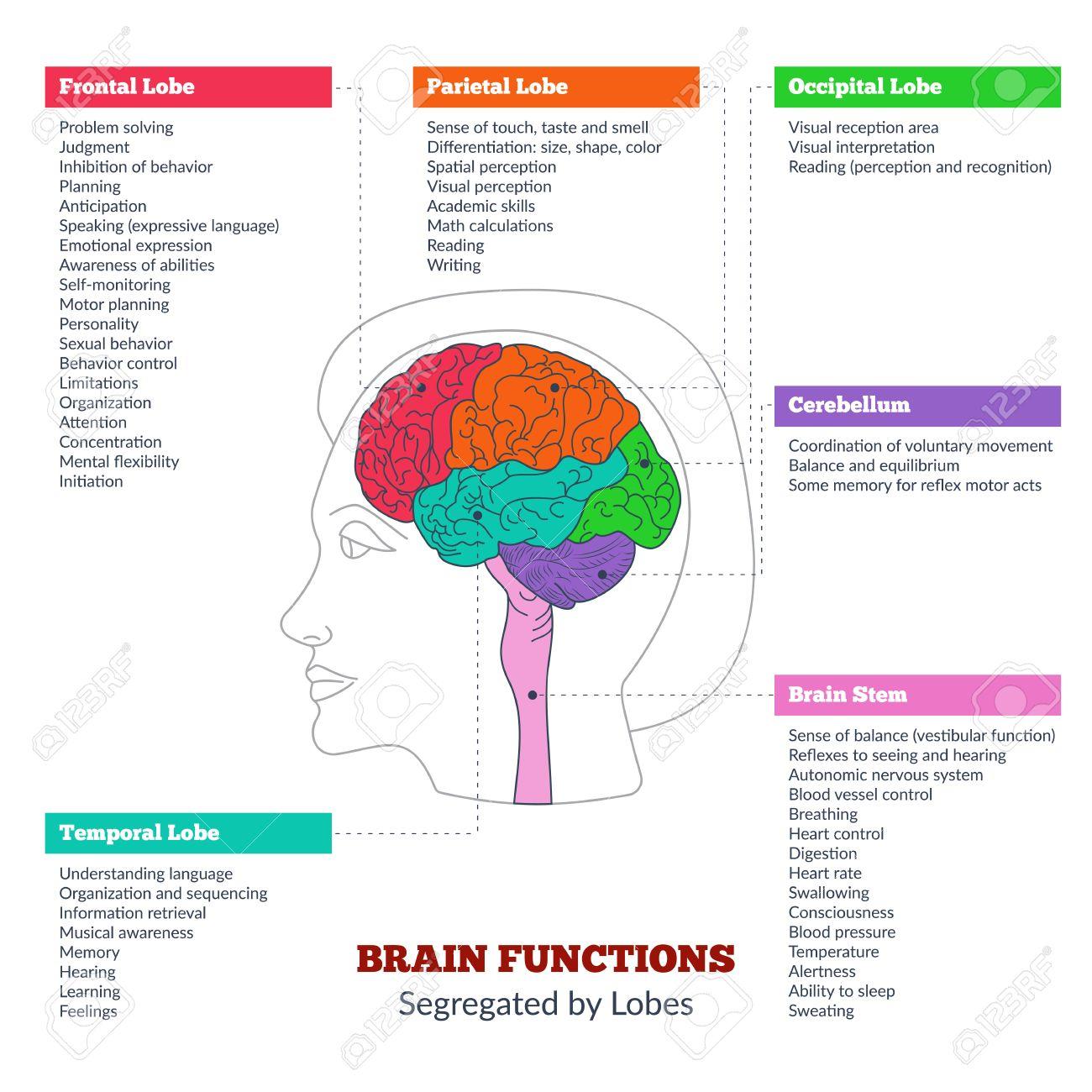 Guía De La Anatomía Del Cerebro Humano Y Las Funciones Del Cerebro Humano Segregadas Por Lóbulos Infografía Estructura Del Cerebro Lóbulo Frontal Lóbulo Parietal Lóbulo Occipital Lóbulo Temporal El Tronco Cerebral Cerebelo
