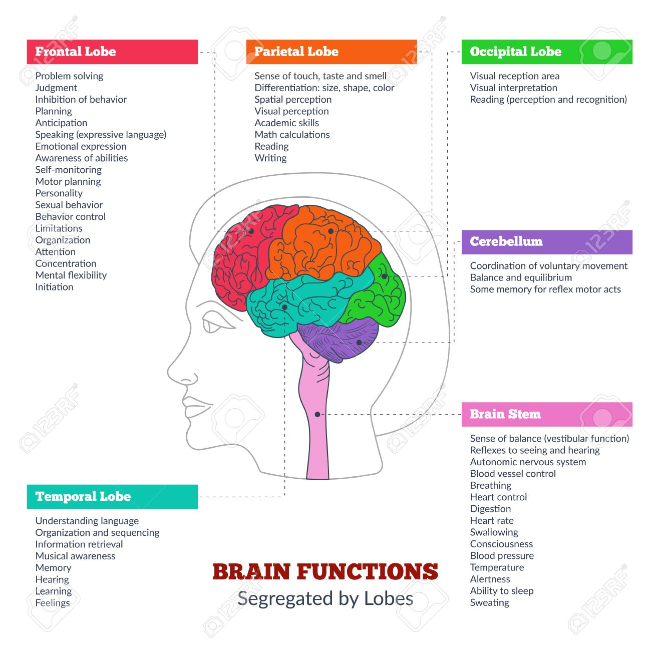 Diagram Of Human Brain Lobes And Functions - Auto Wiring Diagram Today •