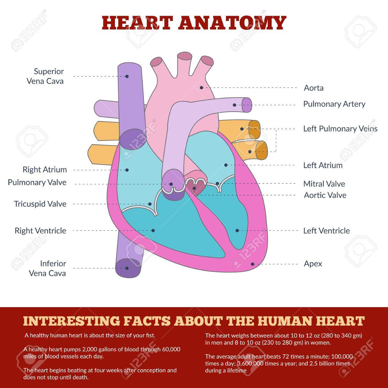 Esquema De La Anatomía Del Corazón Humano Y El Sistema Circulatorio ...