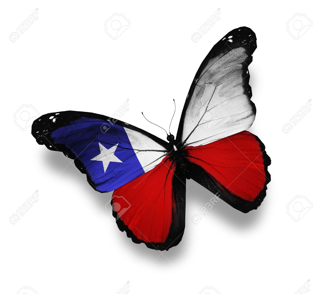 chilean flag butterfly isolated on white stock photo picture and