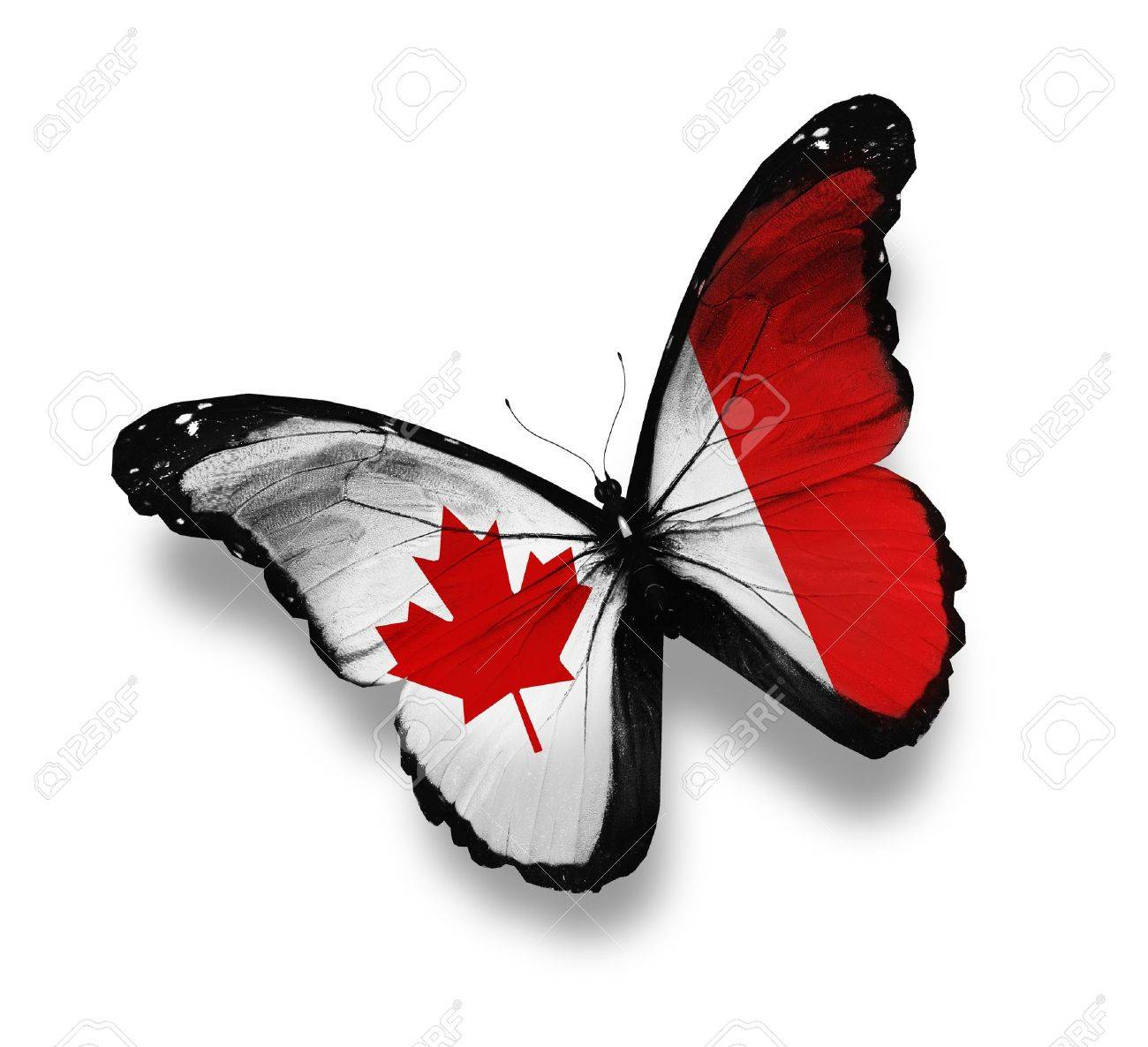 canadian flag butterfly isolated on white stock photo picture