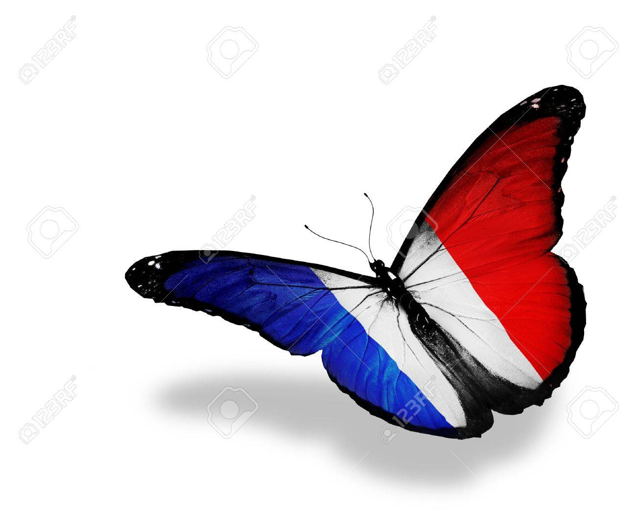 french flag butterfly flying isolated on white background stock