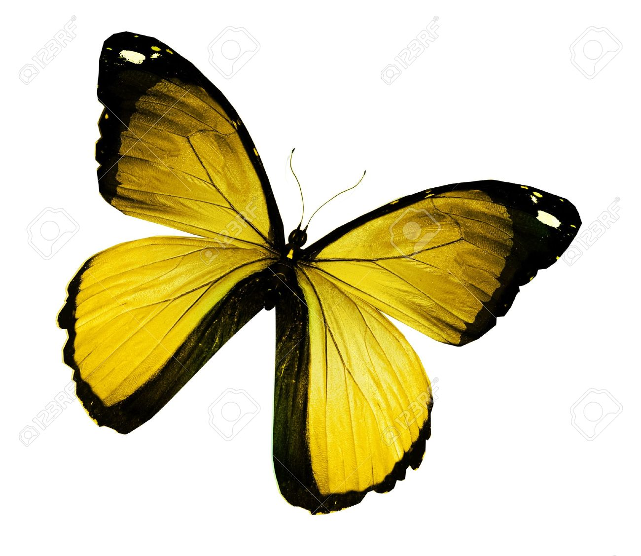 yellow butterfly images u0026 stock pictures royalty free yellow