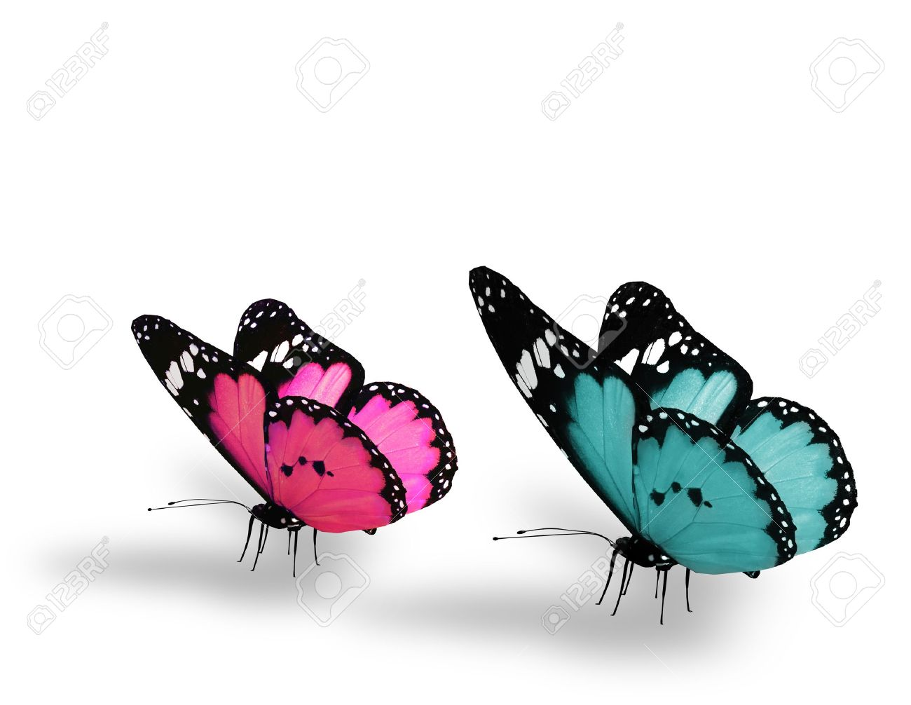 Two blue pink butterfly, isolated on white background Stock Photo - 14989557