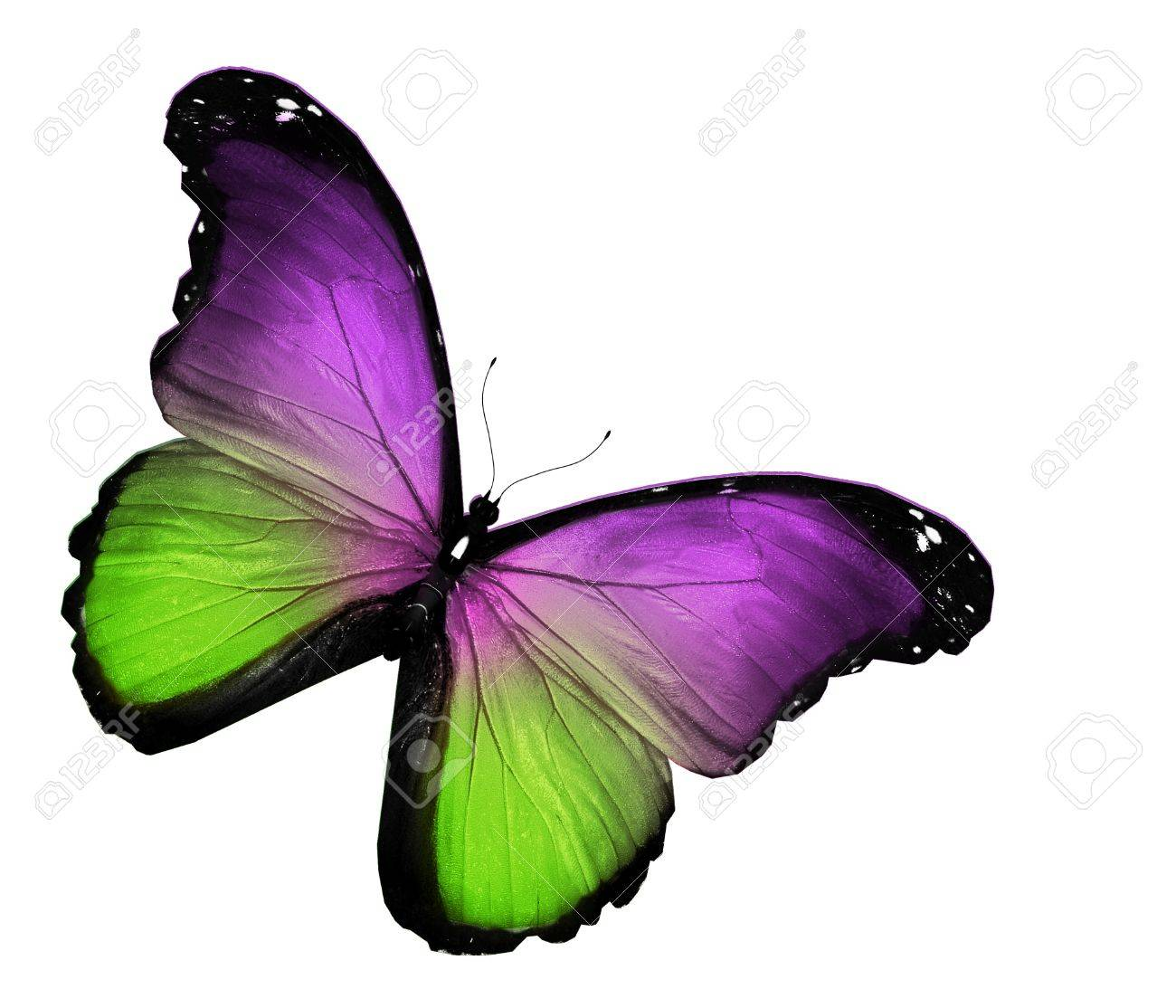 green violet butterfly on white background stock photo 16258607 - Vert Et Violet
