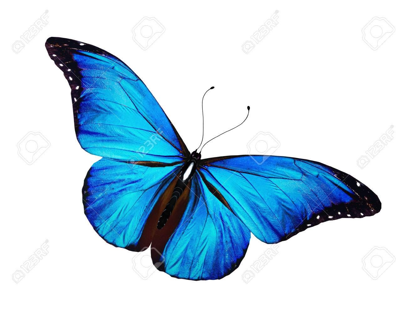 Immagini Stock Farfalla Blu Isolato Su Sfondo Bianco Image 25187690