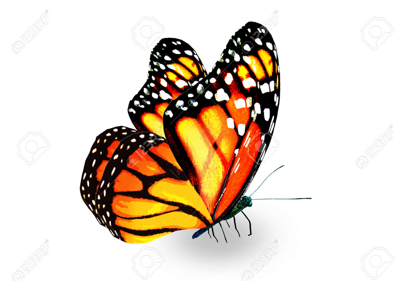 Color monarch butterfly, isolated on the white background - 168315339