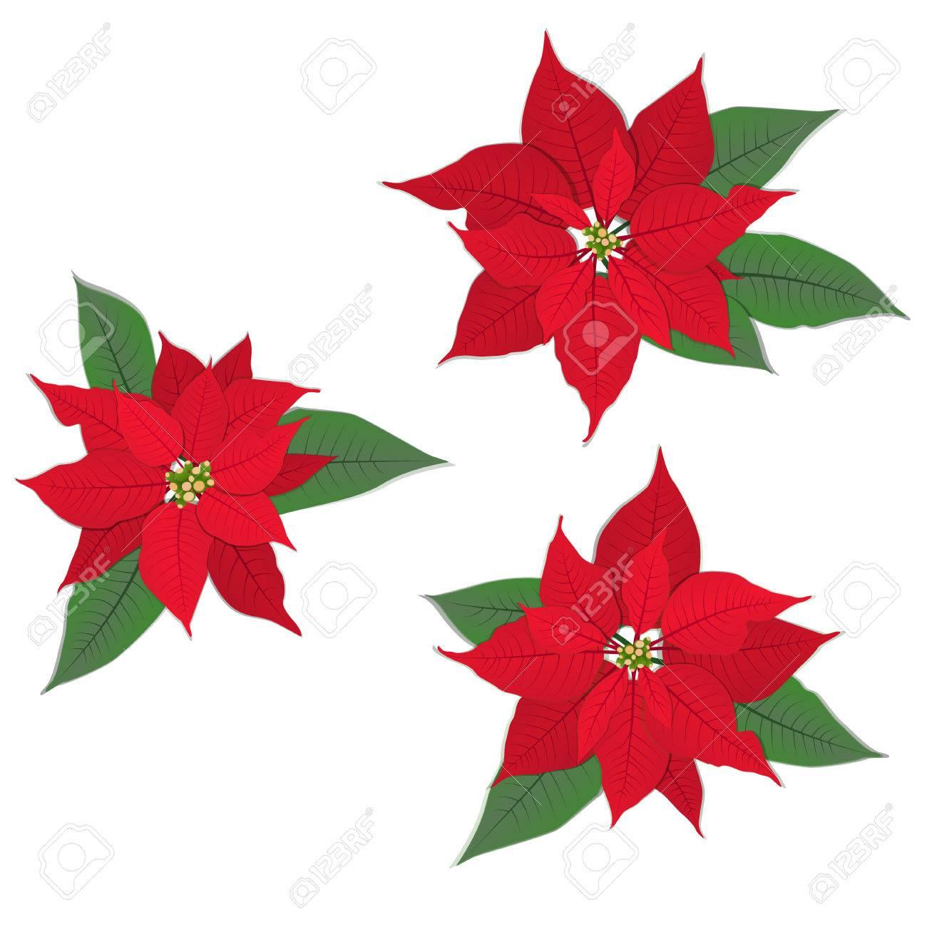 Rote Weihnachts Blume Weihnachtsstern Auf Weiß. Vektor-Set ...