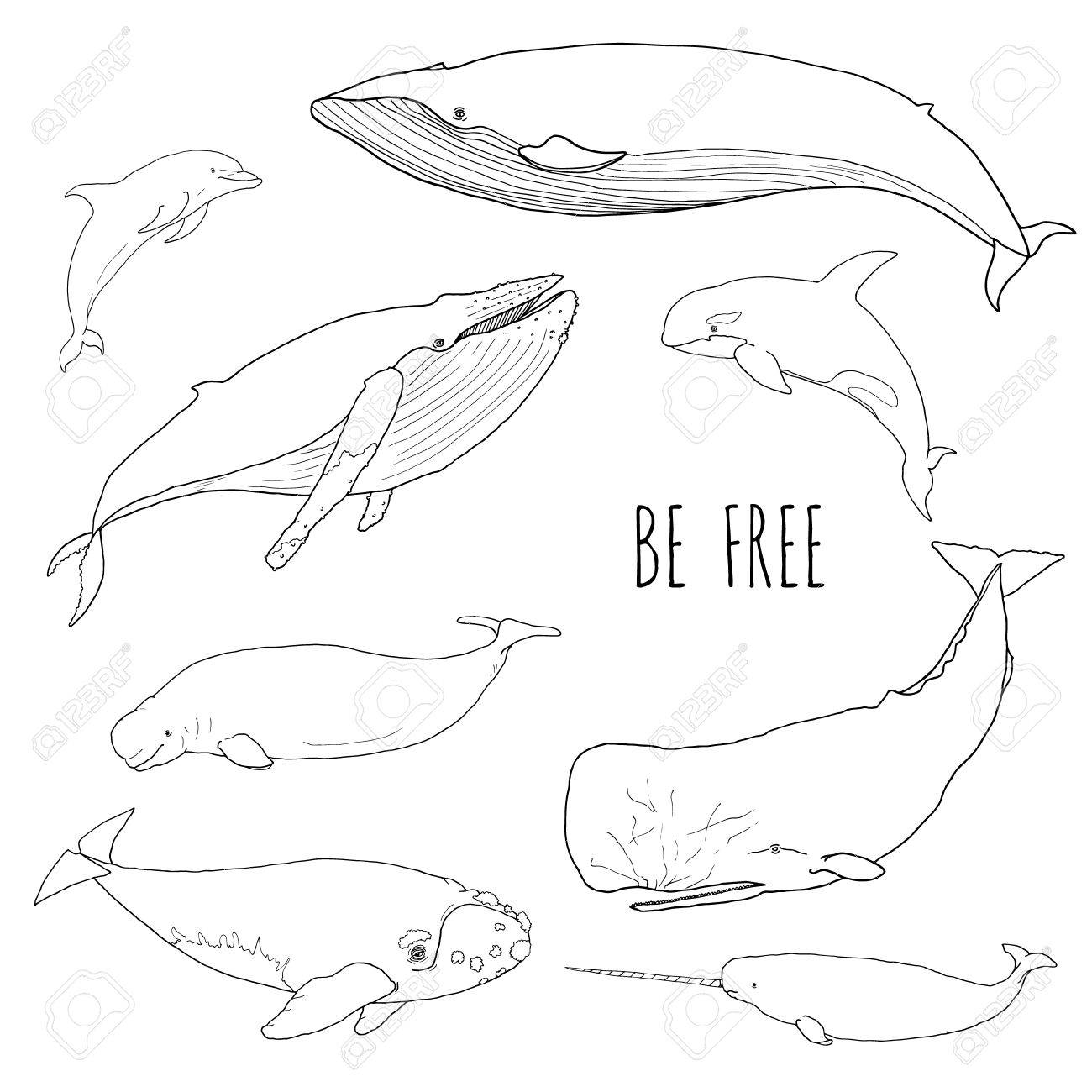Jeu De Differentes Baleines Vector Illustration Des Mammiferes