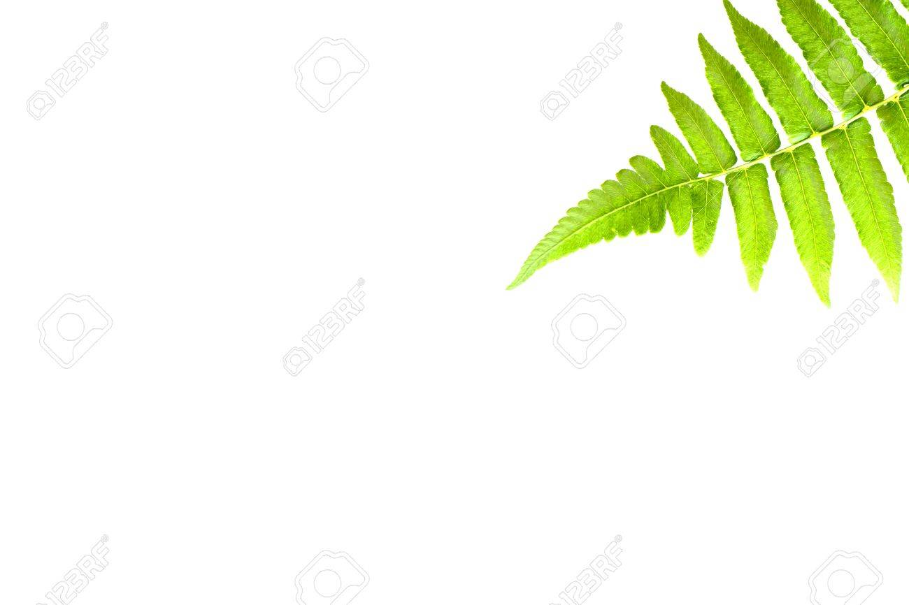 green fern leaf isolated on white background Stock Photo - 19984450